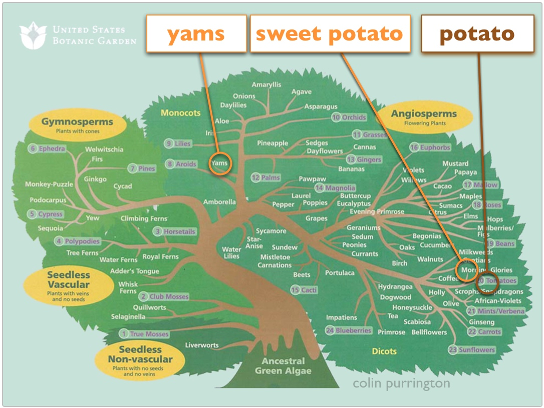 https://www.colinpurrington.com/wp-content/uploads/2013/11/yams-and-sweet-potatoes-difference.jpg